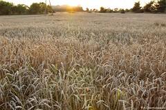 Golden fields near Solanki Park (adacze) Tags: light sunset landscape goldenhour solanki zboże zachódsłońca krajobraz sd15 sigmasd15 sigmacamera złotagodzina