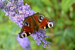 Peacock Butterfly Inachis Io (Seventh Heaven Photography) Tags: butterfly pollen buddleia purple flowers blooms garden summer shropshire england britain british peacock inachis io lopidoptera nature wildlife nikond3200 papillon