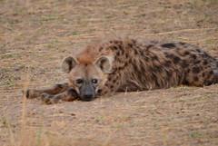 DSC_7935 (H Sinica) Tags: safari hyena masaimara maasaimara