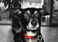 Hund Apollo mit rotem Halsband (Michelle Dankwart) Tags: hund halsband rotes brav ss gehorsam