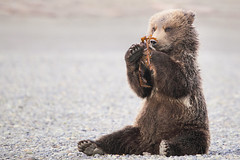 Coastal brown bear cub (pilapix) Tags: bear brown playing cute alaska cub eyecontact sitting sweet pebbles griz