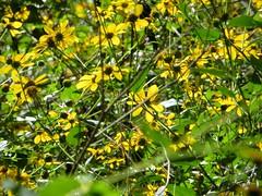 Austin: Barton Creek Greenbelt (zug55) Tags: flower yellow austin texas greenbelt hillcountry wildflower bartoncreek texashillcountry centraltexas bartoncreekgreenbelt