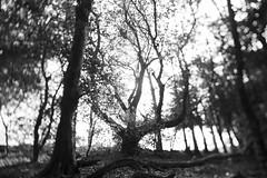 Devichoys (Naomi Roe) Tags: trees blackandwhite distortion tree woodland dark landscape creepy twisted tiltshift devichoys