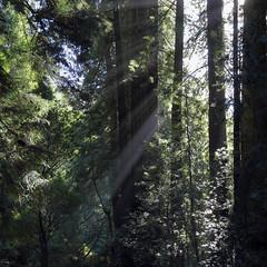 Sunbeams in Muir Woods National Monument, Redwood Canyon, near Mill Valley, Marin, Ca., USA (Ministry) Tags: sanfrancisco california county ca usa tree green john coast us nationalpark marin canyon coastal muirwoods valley service redwood muir sequoia sunbeam nationalmonument millvalley sempervirens redwoodcreek