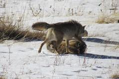 IMG_6100 (joe.scarpelli) Tags: coyote animal wildlife tahoe