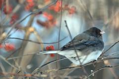 Eden Mill Nature Center (WabbyTwaxx) Tags: winter snow bird mill nature birds dark junco maryland center eden eyed grist darkeyed