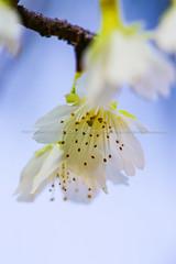 綠萼   櫻 (湯小米) Tags: flowers canon sakura 櫻花 1dx 100mmf28marco