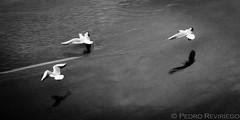 Birds (Photopeter71) Tags: sunset sea wild bw naturaleza white seascape abstract black bird art blancoynegro beach nature water dark spain agua key wildlife low bn arena ave abstracto santander vuelo vision:mountain=0736 vision:outdoor=0835 vision:car=0504 vision:sky=094 vision:clouds=0898