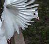 Dove DSC_2280.jpg (Sav's Photo Gallery) Tags: uk london birds dove gb hollandpark whitedove savash