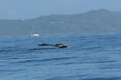 Humpback tail 5 (MScottS) Tags: dominicanrepublic wildlife whales humpbackwhales samana dominicanrepublicscenery dominicanrepublicwildlife dominicanrepublicphotos dominicanrepublicimages