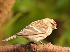 redpoll5 (Dawn Porter) Tags: bird somerset redpoll