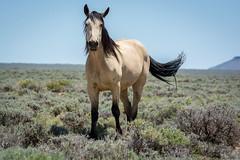 Born Free (Amy Hudechek Photography) Tags: wild summer horses wyoming rocksprings happyphotographer pilotbuttewildhorsescenicloop amyhudechek