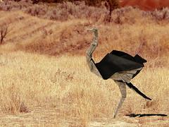 Ostrich (Lionel Albertino) (Danielle Verbeeten) Tags: africa art paper origami kunst danielle ostrich safari avestruz lionel papier paperfolding papiroflexia folding autruche albertino struisvogel vouwen vouwkunst papierkunst papiervouwen safariorigami