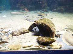 Wolf fish - Macduff Marine Aquarium (IrenicRhonda) Tags: public animal geotagged scotland highlands unitedkingdom escocia february done macduff schottland ecosse 2014 gbr highlandsandislands p4m redbubble macduffaquarium lascozia  httpwwwmacduffaquariumorguk troupward geo:lat=5767201780 geo:lon=249168580