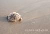 20140307_0149_s (close-up.biz) Tags: ocean blue sea summer color beach nature water animal closeup seaside sand background cuba sharp needle tropical hedgehog thorn urchin biology spikes echinoidea