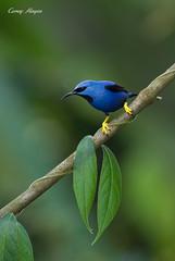 Shining-Honeycreeper-3 (Corey Hayes) Tags: wild bird art nature birds canon costarica wildlife awesome ngc birding feeder setup birdwatching centralamerica songbird coreyhayes