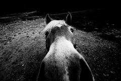 Selfie (bebo82) Tags: blackandwhite bw horse pentax cavallo biancoenero carso duino malchina pentaxk20d pentaxk20 ceroglie