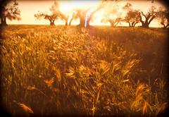 Golden Lands (rennoib) Tags: sunset orange sun tree yellow landscape arbol gold warm olive oil land spikes olivo espigas aceituna calido