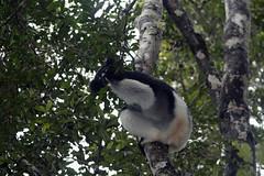 family: Indriidae. Indri - Analamazaotra National Park, Madagascar