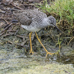 Lesser Yellowlegs (Tringa flavipes) thumbnail