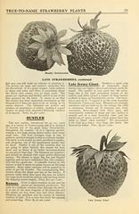 n42_w1150 (BioDivLibrary) Tags: strawberries maryland salisbury catalogs nurserystock nurserieshorticulture usdepartmentofagriculturenationalagriculturallibrary bhl:page=43767895 dc:identifier=httpbiodiversitylibraryorgpage43767895 bhlgardenstories allencosalisburymd bhlinbloom