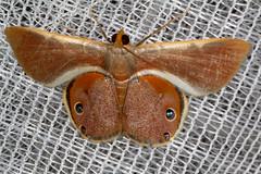 Opisthoxia sp. (K. Zyskowski and Y. Bereshpolova) Tags: brazil geometridae amazonas yavari javari palmari opisthoxia ophthalmophora