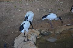 fauna zoo uae abudhabi unitedarabemirates sacredibis wadingbirds threskiornisaethiopicus zoologicalgardens aquaticbirds africansacredibis emiratesparkzoo samhaabudhabi