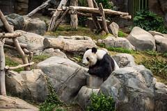 Giant Panda  (anthonyleungkc) Tags: lumix hongkong panda olympus panasonic giantpanda asph f28 omd oceanpark   vario m43 mft em5  lihgtroom 1235mm microfourthirds x1235