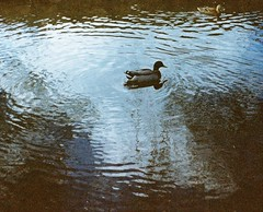 Duck in pond (bac1967) Tags: camera film gold duck washington pond kodak iso400 110 iso 400 wa asa grainy 20 pocket expired bothell instamatic 091999