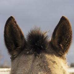 Equine Ears (mikemcnary) Tags: winter horse closeup hair outdoors unitedstates pentax outdoor lexington kentucky ears dirty dirt squareformat equestrian tuft equine perky kentuckyhorsepark