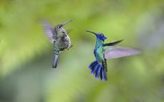 _DSC7324 (wanghc732) Tags: bird nature animals ecuador hummingbird