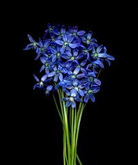 57305.01 Scilla siberica (horticultural art) Tags: flowers bunch bouquet scilla scillasiberica horticulturalart