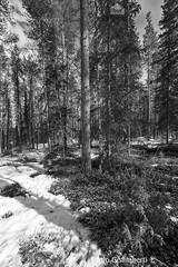 Foresta, forest (paolo.gislimberti) Tags: wood trees blackandwhite alberi forest finland landscapes paesaggi thaw biancoenero conifers finlandia bosco foresta undergrowth sottobosco conifere disgelo primaverafinlandese finnishspring