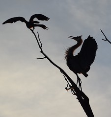 ...cormorant and a heron!... (djchphotography) Tags: morning blue two sky white black tree heron nature beautiful up birds silhouette clouds sunrise cormorants lens outside outdoors grey early high colorado branch natural fort hiking air great silhouettes area collins squabble