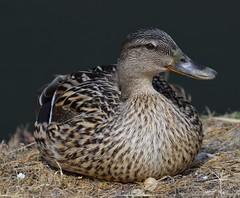 duck (ecordaphoto) Tags: eye nature photo duck nikon 10 natura occhi views 100 nikkor 1000 boken dx 55300 d5100