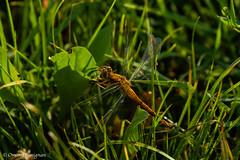Orange Dragonfly. Libellula arancione. (omar.flumignan) Tags: orange canon insect eos dragonfly ngc 7d insetto arancione libellula ef100400f4556lisusm allnaturesparadise