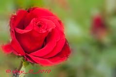 Rose rouge (Guy_D_2010) Tags: flower rose nikon bokeh flor blumen blomma quintaflower bunga  fiore blomst gul virg hoa bloem lill blm iek  kwiat blodyn   lule kukka d90   cvijet  blth cvet  zieds  gl kvtina kvetina floare    fjura   pixelistes nikonfrance naturemasterclass nikonistes nikonflickraward  voninkazo