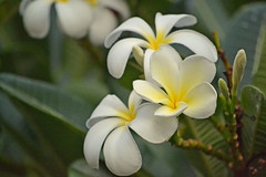 YellowandWhiteFlower (robertjorgensen) Tags: flowers hawaii maui 2013