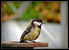 Kohlmeise.... (karin_b1966) Tags: bird nature animal garden natur garten tier vogel 2016 kohlmeise yourbestoftoday