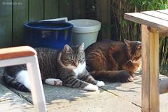 Friends (Finn Frode (DK)) Tags: friends pet cats animal cat garden denmark afternoon outdoor rags olympus som rest somali verandah mixedbreed somalicat bastian domesticshorthair omdem5 dusharatattersandrags