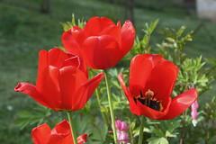 (Jelena1) Tags: naturaleza plant flower primavera nature fleur canon plante spring flora serbia natur flor pflanzen tulip bloom blomma blte priroda printemps lala tulipa frhling tulpe vr srbija liliaceae prolece tulpan vxt biljka cvet canonefs1855mmf3556is canon600d canoneos600d