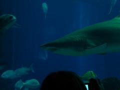 DSCN0386 (pablo.modo) Tags: portugal lisboa peces animales acuario tiburn