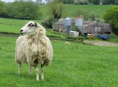 near broadway, the cotswolds (gerben more) Tags: uk england grass animal sheep farm meadow cotswolds