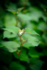 Small Species (H.H. Mahal Alysheba) Tags: plants flower green nature japan nikon dof bokeh nikkor afs d800 85mmf18