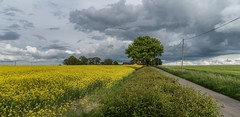 Daresbury Village Fields (joanjbberry) Tags: field countryside warrington nikon farmland rape d750 fields crops daresbury
