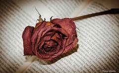 Rosa Marchita (NatyCeballos) Tags: red flower book rojo nikon flor rosa libro letras marchita petalo nikond7000