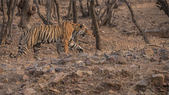 A Tiger on the Hunt (Raymond J Barlow) Tags: travel india outdoor wildlife tiger adventure bigcat phototours raymondbarlow