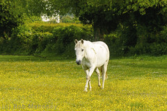 On My Way to Work (Horse) (BobMah) Tags: horse white field yellow outdoor commuting buttercups 7d2