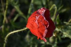 Rosella amb rosada (esta_ahi) Tags: red espaa flores spain flora flor rosella rosada papaver lleida roco papaveraceae segarra amapola papaverrhoeas silvestres lrida lasegarra