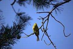Yellowhammer (Sybalan,) Tags: holiday birds forest canon scotland outdoor sunny coastal blueskies seashore ornithology morayshire httpsybalanphotographyweeblycom